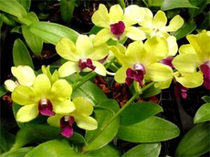 orchid-dendrobium lime green